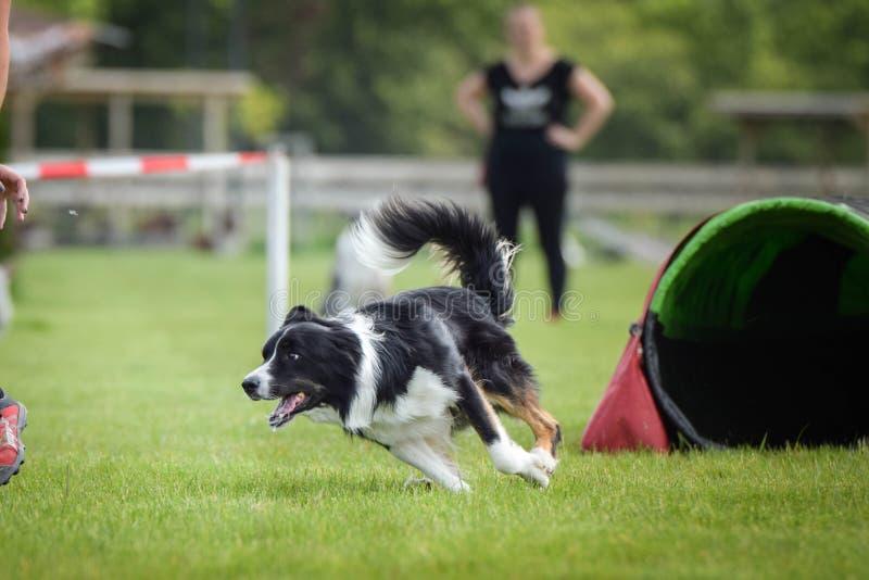 Hunden tricolor border collie kör på vighetkonkurrens royaltyfria foton