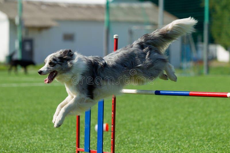Hunden utför på vighetkonkurrens field treen Naturljus royaltyfri bild
