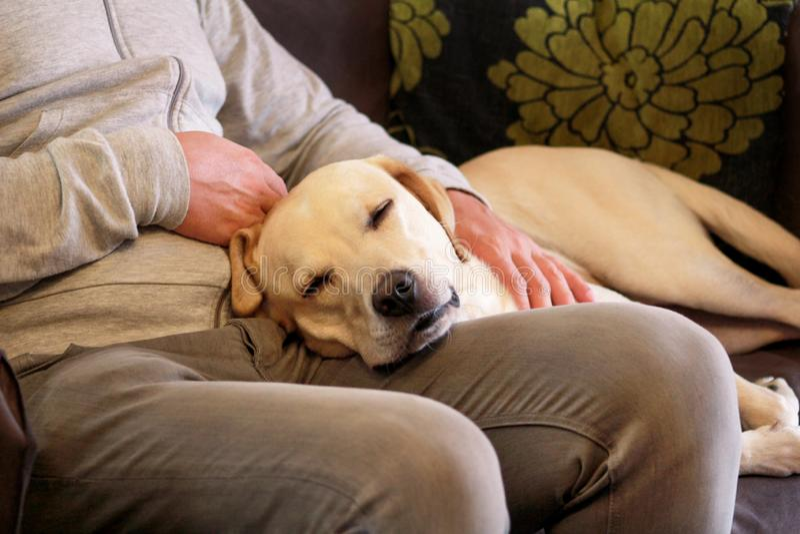 Hunden vilar för manägaren som daltar hans husdjur, closeup Gul lycklig labrador retriever hundkänsel medan hans skämma bort för  fotografering för bildbyråer