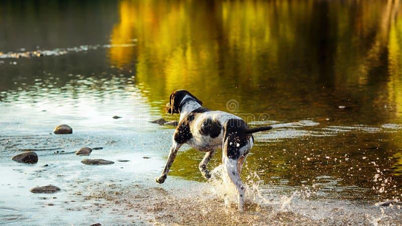 Hundengelskapekare arkivbild
