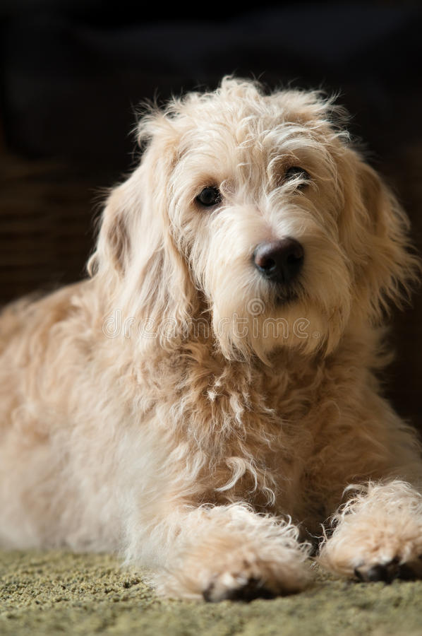 Hundeporträt lizenzfreies stockbild
