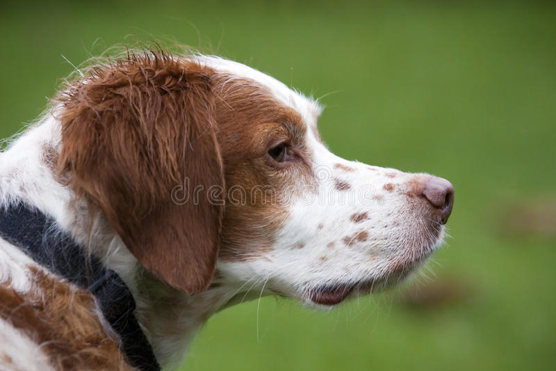 Hundeprofil stockbilder