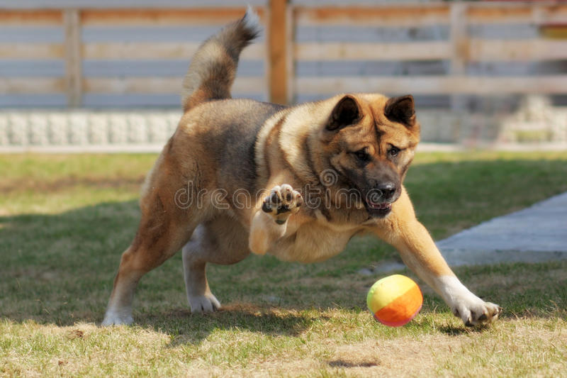 Hunderasse-Akita-inu spielt draußen mit einem Ball lizenzfreies stockfoto