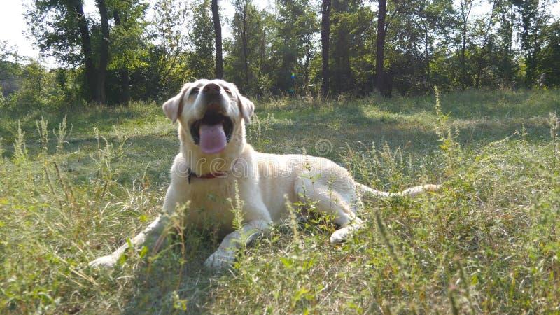 Hunderasse Labrador oder golden retriever, das auf dem Rasen des grünen Grases liegt Haustier, das seinen Mund und Darstellen öff stockfotografie