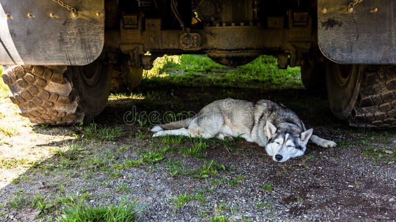 Hunderasse-Schlittenhund, der am heißen Sommertag unter dem großen Auto schläft lizenzfreies stockbild
