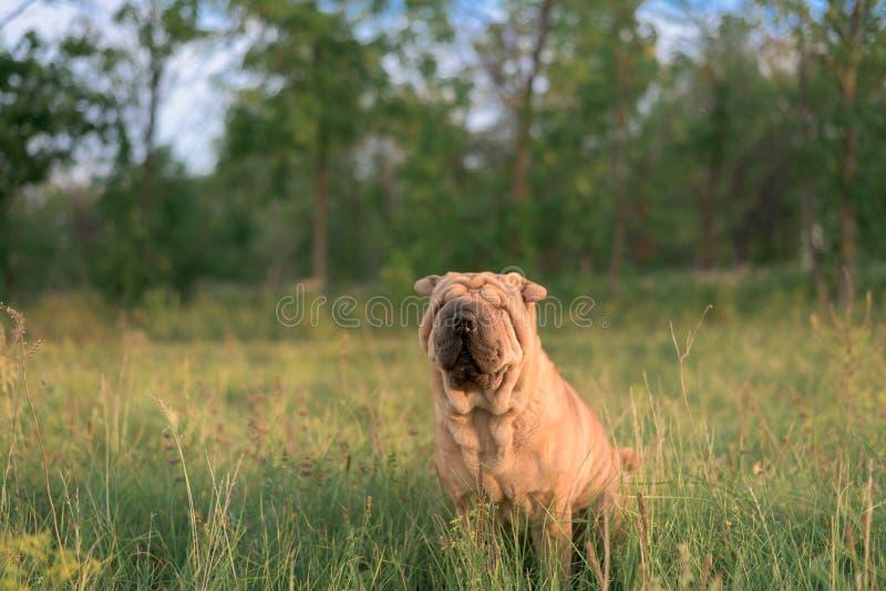 Hunderasse Shar Pei, der im Kasten sitzt, schloss seine Augen von der Sonne und drehte die Ohren Lustiges Tier Abschluss oben stockfotos