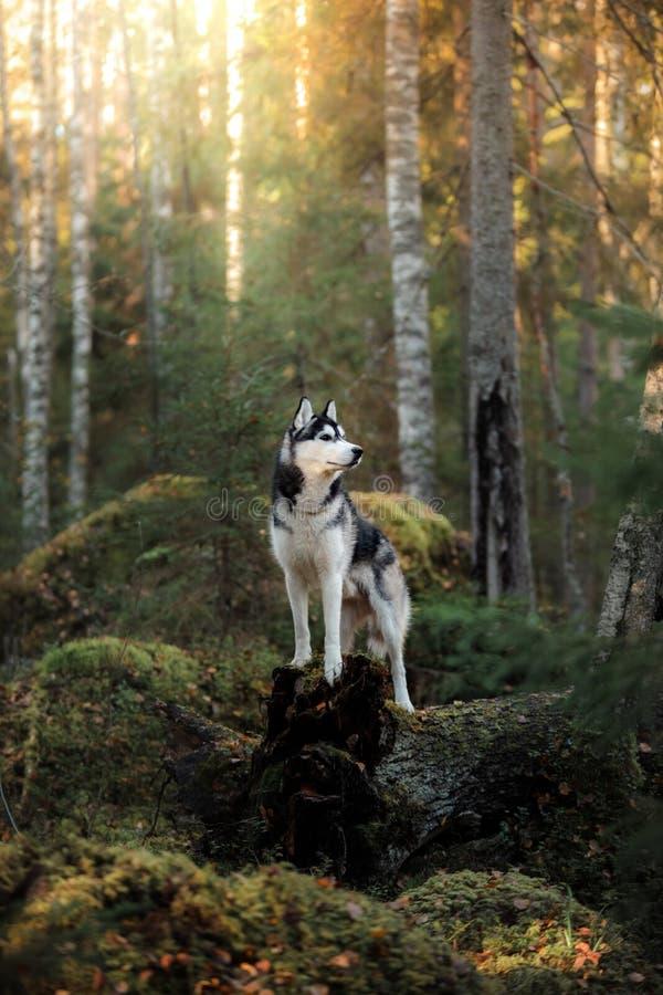 Hunderasse-sibirischer Husky lizenzfreies stockbild