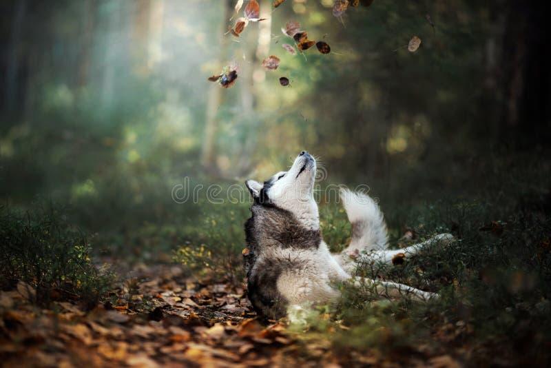Hunderasse-sibirischer Husky stockfotos