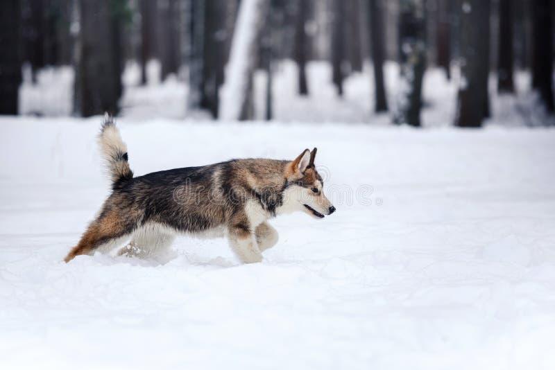 Hunderasse-sibirischer Husky, der auf einem schneebedeckten läuft lizenzfreie stockfotos