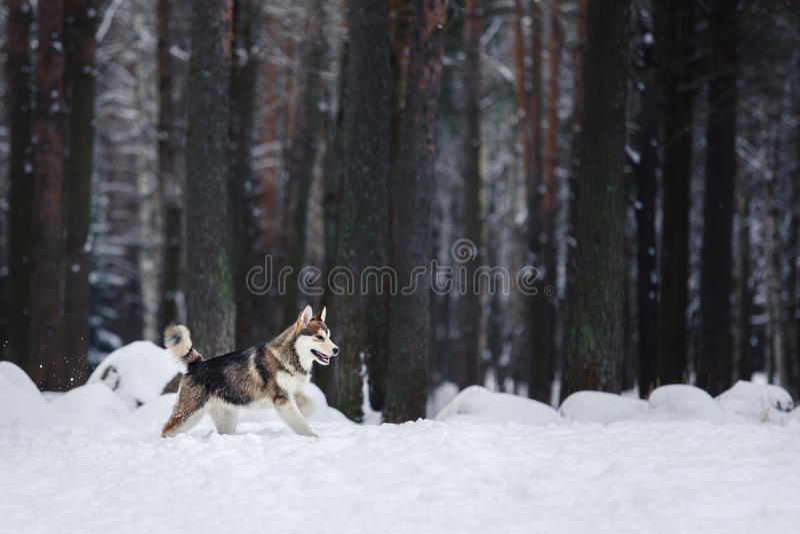 Hunderasse-sibirischer Husky, der auf einem schneebedeckten läuft stockbilder