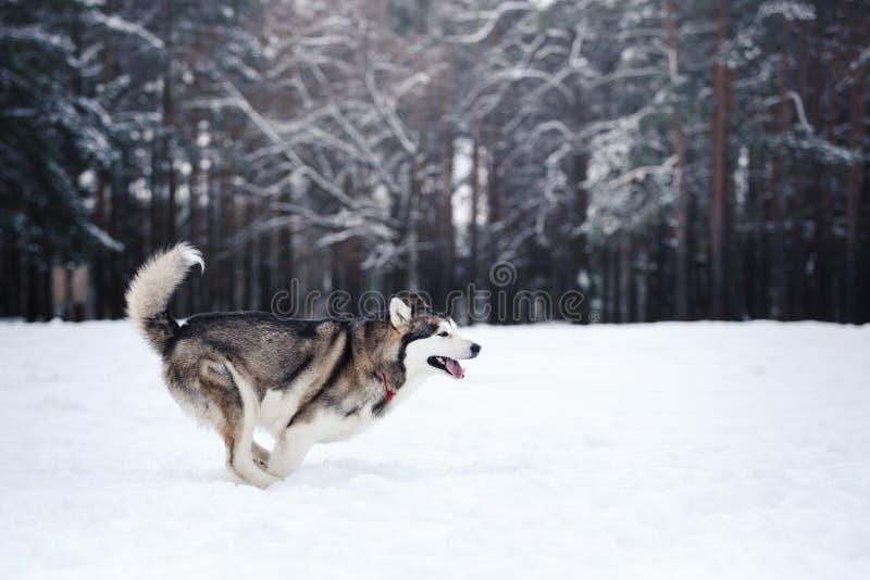 Hunderasse-sibirischer Husky, der auf einem schneebedeckten läuft stockfotografie