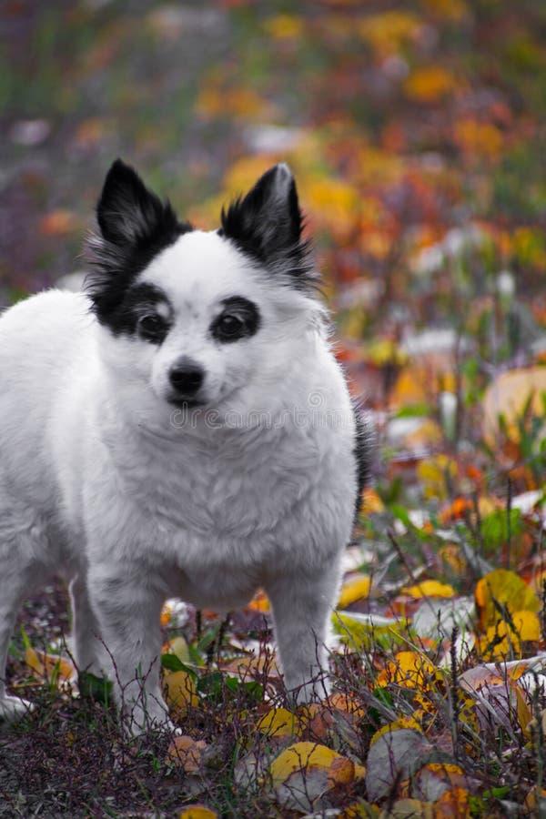 Hunderasse Spitz geht in Herbstpark Kleiner Schwarzweiss-Hund im bunten Herbstlaub lizenzfreies stockfoto