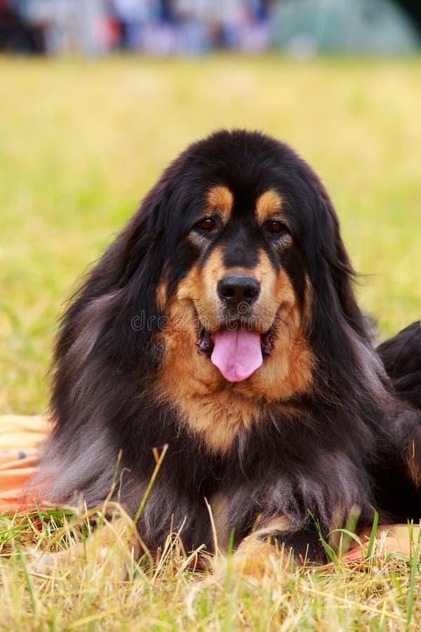 Hunderasse-tibetanischer Mastiff lizenzfreie stockbilder