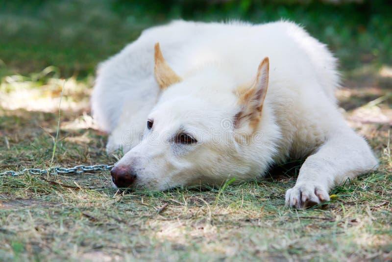 Hunderasse-Westen-Sibirier Laika stockbild