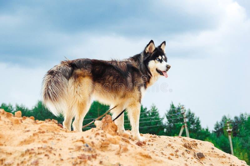 Hunderasseschlittenhund auf einem sandigen Berg gegen den blauen Himmel stockfotografie