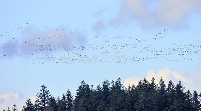 Hunderds snögäss som flyger Washington arkivbild
