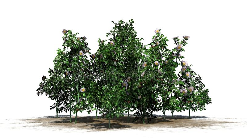 Hunderosafarbene Anlagen mit dem Weiß, zum von Blüten und von roten Früchten auszuzacken stockfoto