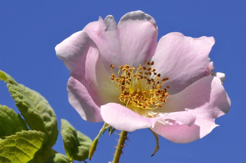 Hunderosafarbene Blume lizenzfreies stockbild