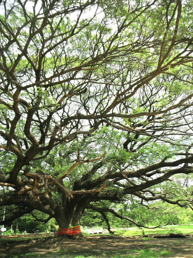 hundertjähriges Raintree lizenzfreie stockfotos