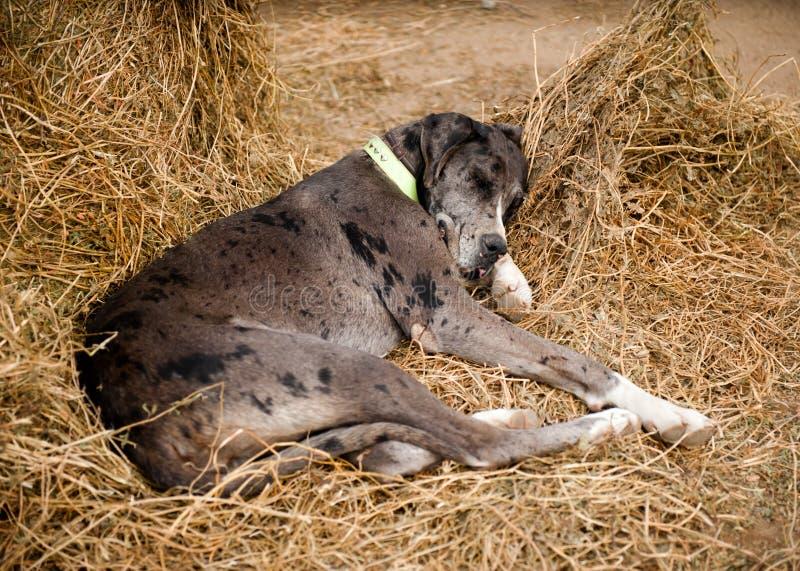 Hundeschlaf stockfotografie