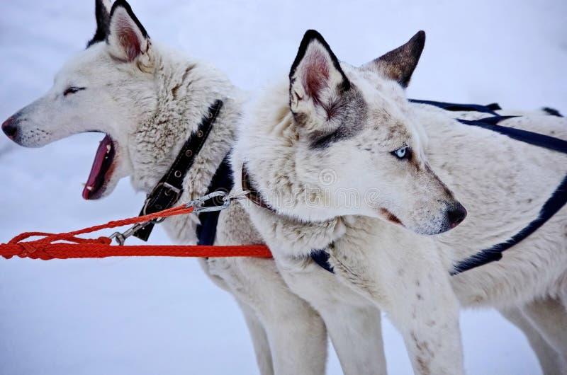Hundeschlitten Alaskischer Malamute ist durchaus eine große eingeborene Art der Hund, entworfen, um in einem Team, eins zu arbeit stockbilder