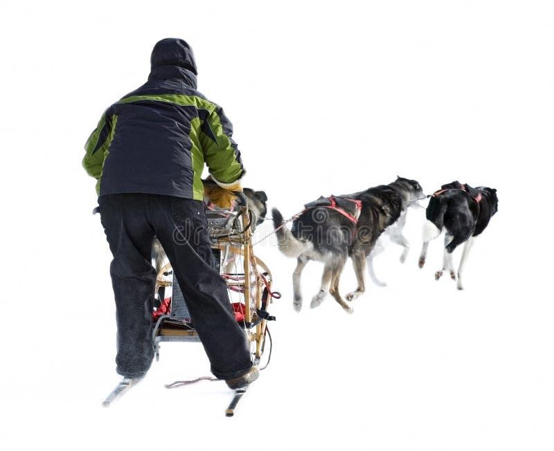 Hundeschlitten Musher und Hund Team gegen Weiß stockfotos