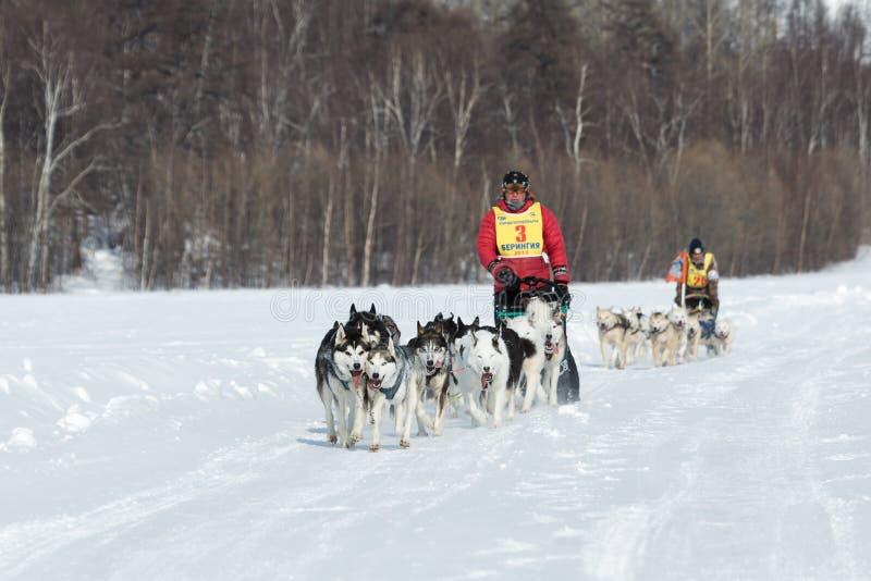 Hundeschlitten-Rennen Beringia Kamchatka extremes Russischer Ferner Osten lizenzfreie stockfotos