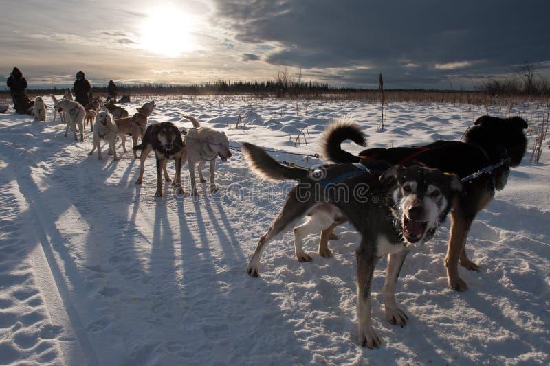 Hundeschlittenteam bereitet vor sich zu ziehen lizenzfreie stockbilder