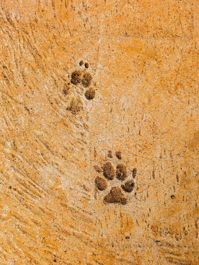 Hundeschritte auf Zementboden - semiotische Indizes stockfotos