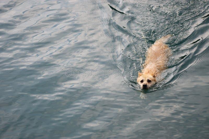 Hundeschwimmen stockfoto