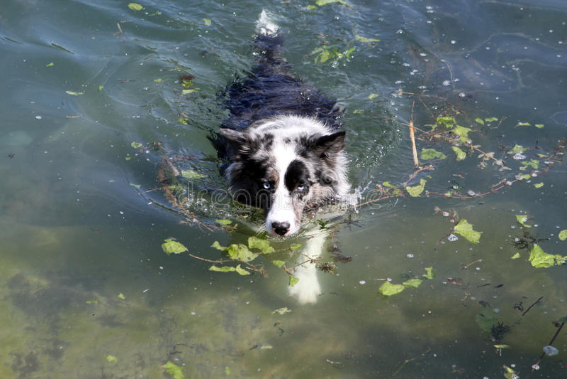 Hundeschwimmen lizenzfreie stockfotografie