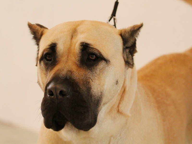 Hundeshow - Porträt Perro de Presa Canario lizenzfreie stockfotografie