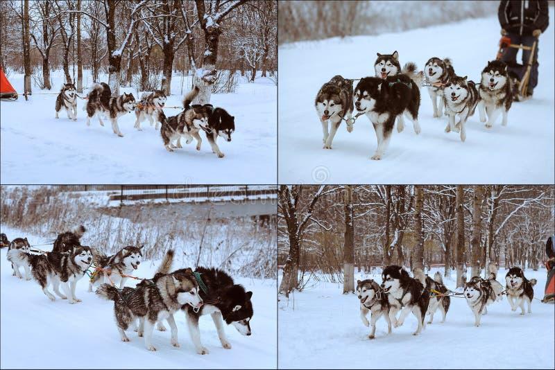 Hundesledding Rennen lizenzfreie stockbilder