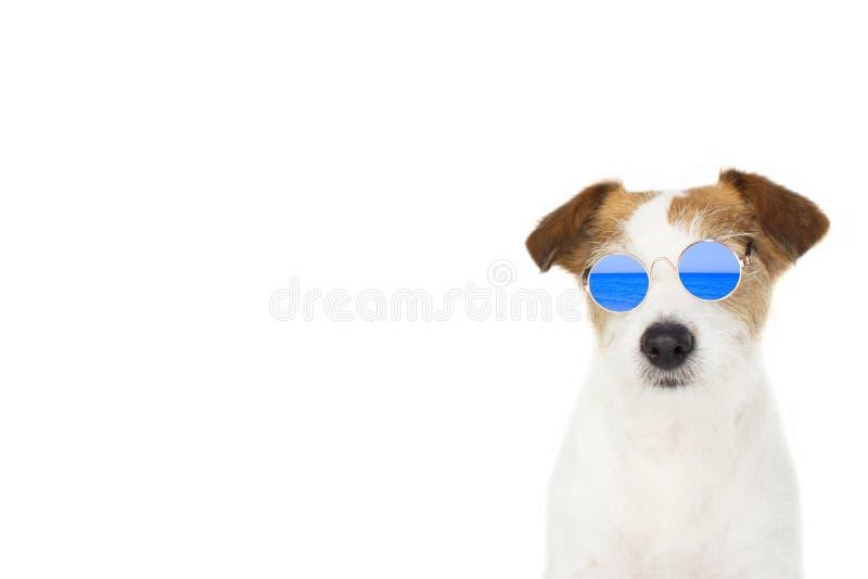 Hundesommer ARBEITEN SIE JACK RUSSELL-HUND UM, DER DIE BLAUEN SPIEGEL-GLÄSER TRÄGT, DIE AUF DEM WEISSEN HINTERGRUND LOKALISIERT W lizenzfreies stockbild