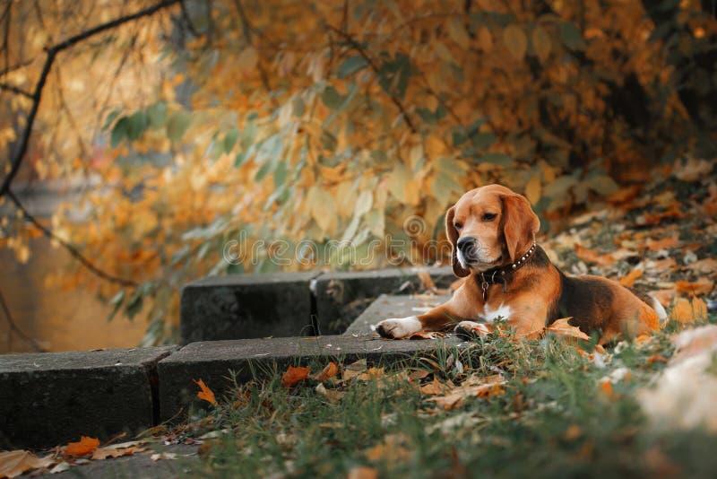 Hundespürhund, der in Herbstpark geht stockfoto