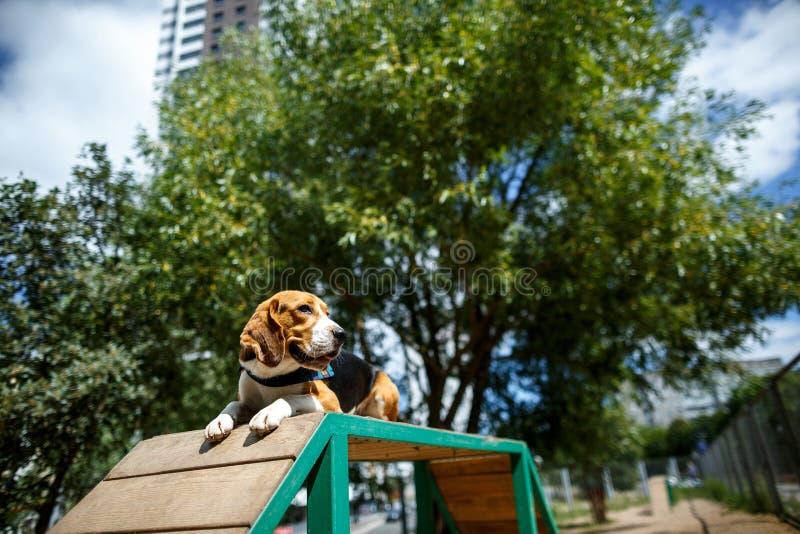 Hundespürhund legt ergeben lizenzfreie stockfotos