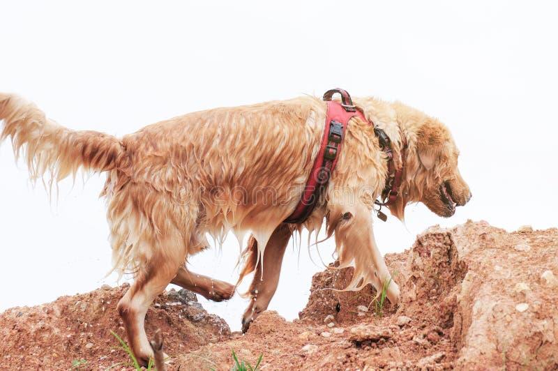 Hundespielen des goldenen Apportierhunds stockfotografie