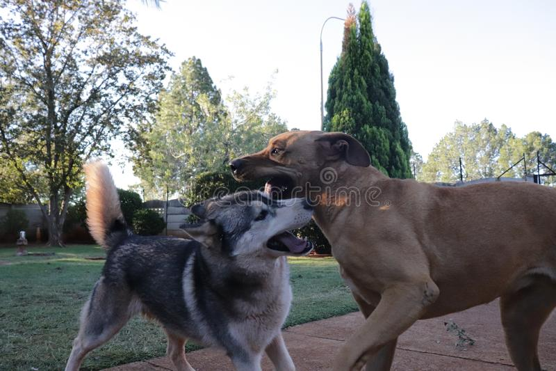 Hundespielen rau stockbild