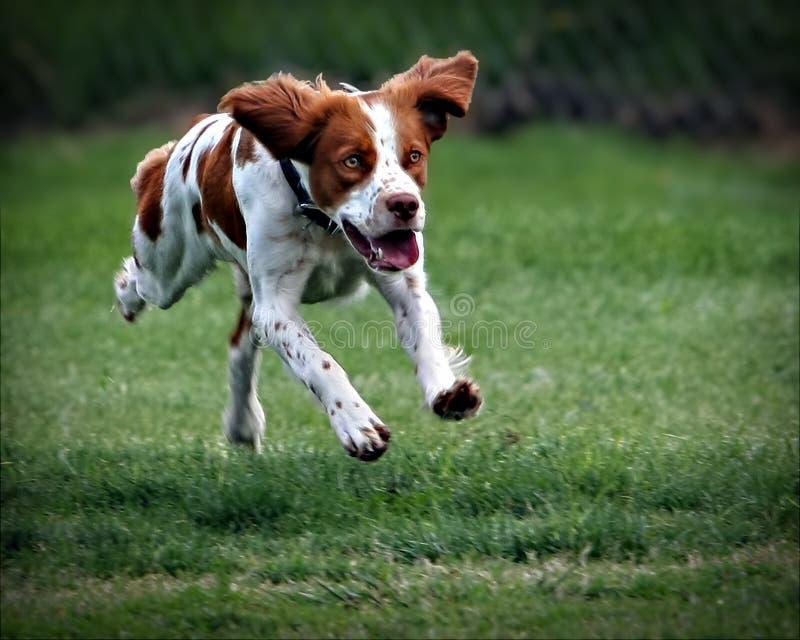 Hundesprung lizenzfreies stockfoto