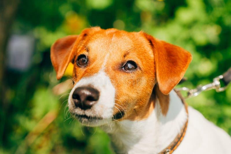 Hundesteckfassungsrussel-Terrier lizenzfreie stockbilder