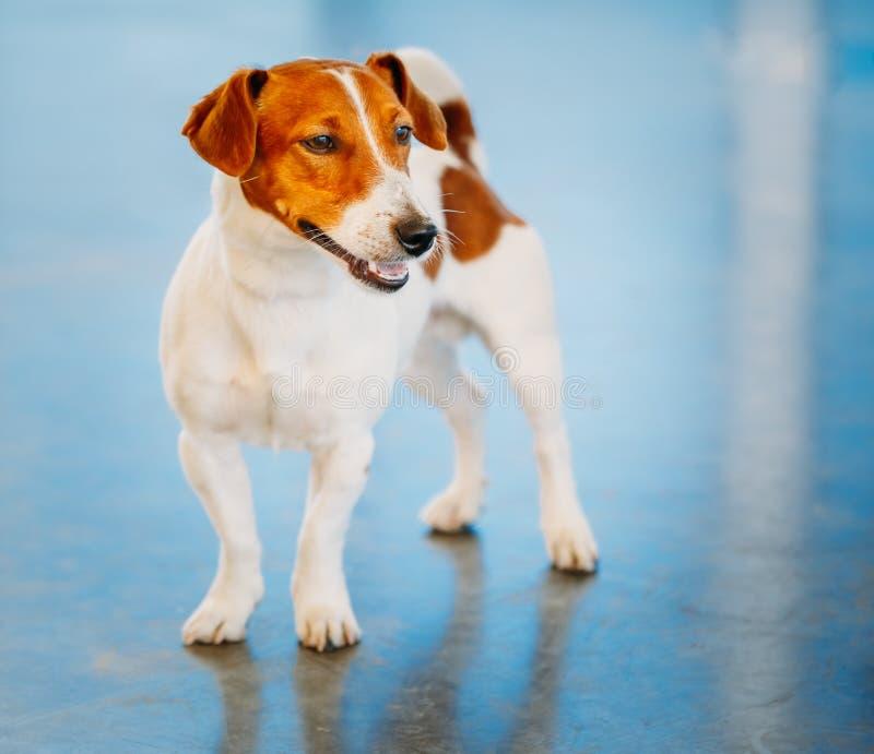 Hundesteckfassungsrussel-Terrier stockfotos