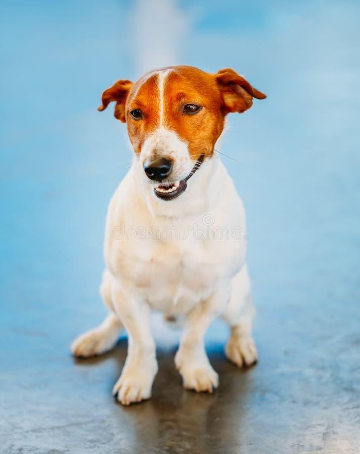 Hundesteckfassungsrussel-Terrier lizenzfreie stockfotografie