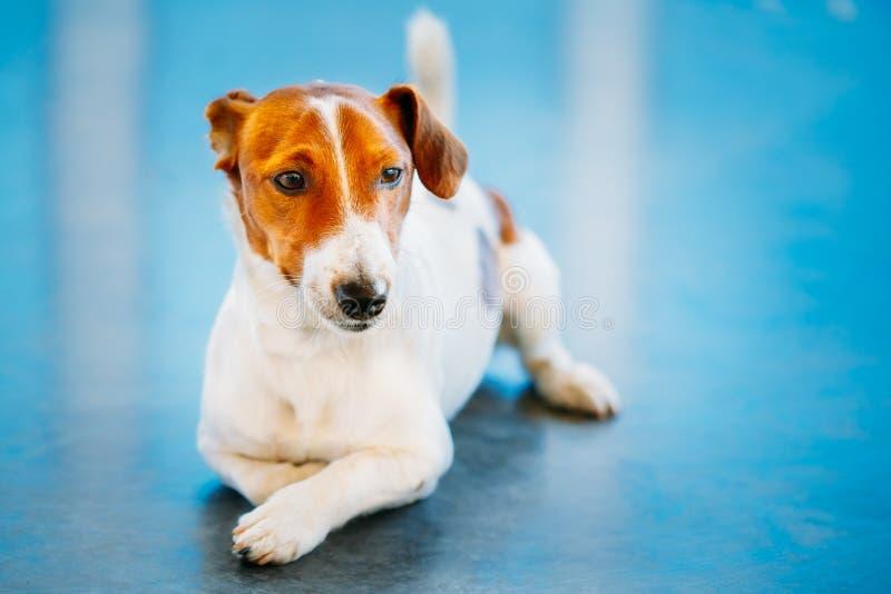 Hundesteckfassungsrussel-Terrier lizenzfreie stockfotos