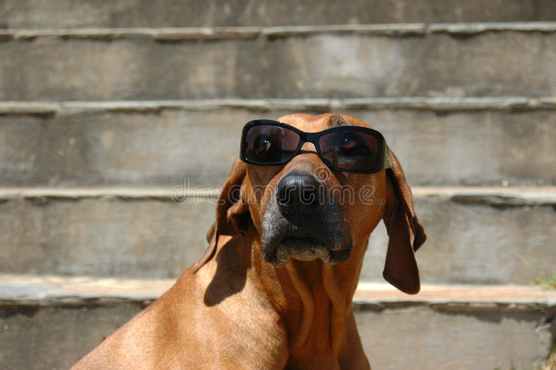 Hundetragende Gläser lizenzfreies stockbild