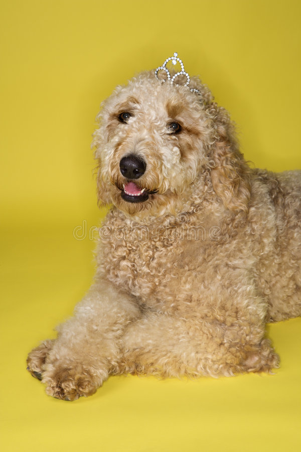 Hundetragende Tiara. lizenzfreies stockbild