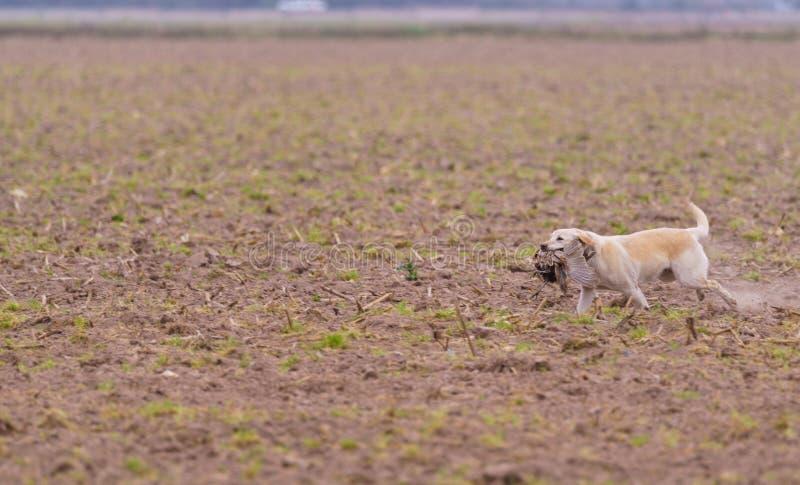 Hundetragender Fasan auf einer Jagd lizenzfreie stockfotos