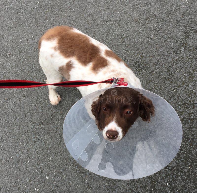 Hundetragender Kegel der Schande lizenzfreies stockfoto