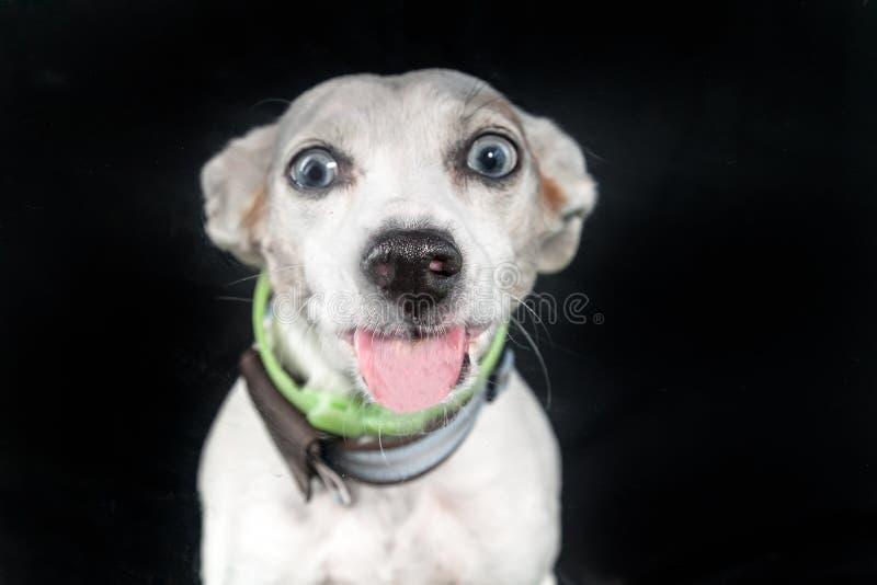 Hundeverbreitungszunge heraus lizenzfreies stockbild