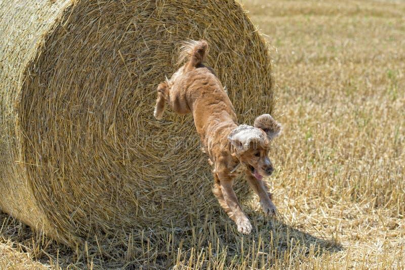Hundewelpe cocker spaniel, das vom Weizen springt stockfotografie