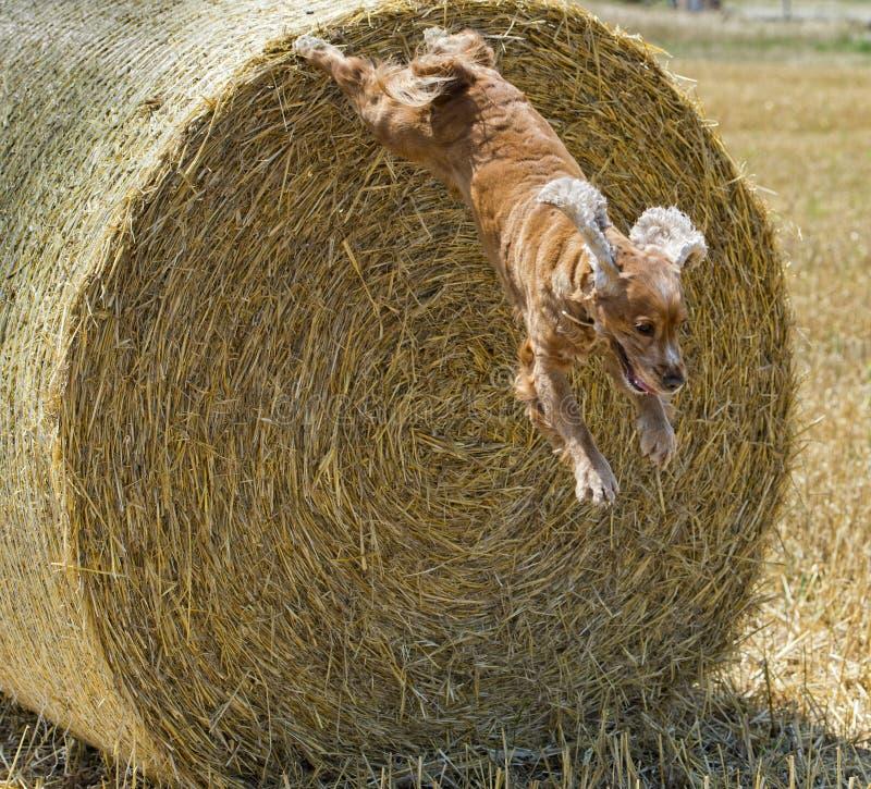 Hundewelpe cocker spaniel, das vom Weizen springt stockbild